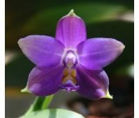 Phalaenopsis violacea blue KF x self