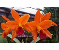 Rhyncattleanthe (Potinara) Netrasiri Starbright 'Spectacular'