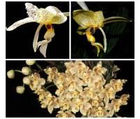 Stanhopea gibbosa x Stanhopea nigripes x Houlletia wallisii