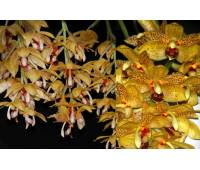 Stanhopea jenischiana x Acineta densa