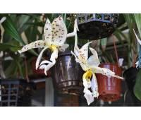 Stanhopea panamensis