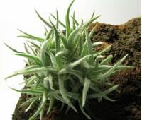 Tillandsia balsasensis
