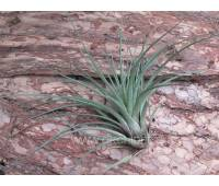 Tillandsia SP 01