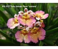 Tolumnia Jairak Flyer 'Corona'