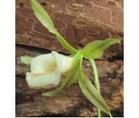 Trichopilia Tortilis x Turialbae