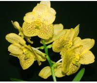 Vanda Sunandra Magic Yellow