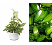 Vanilla planifolia var. variegata
