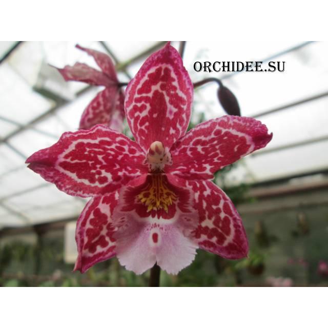 Wilsonara Yokara 'Perfection' x Oncidium leucochilum