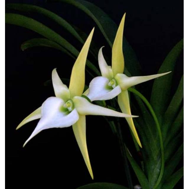 Angraecum longicalcar x sesquipedale