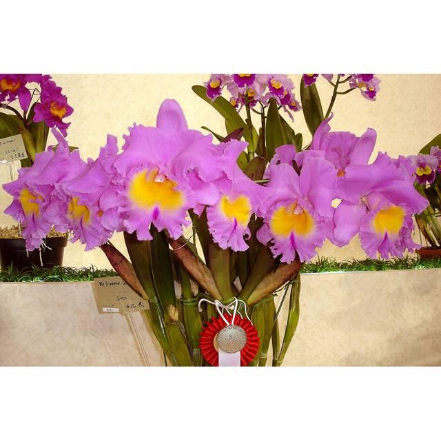 Brassolaeliocattleya Triumphal Coronation 'Seto' AM/AOS