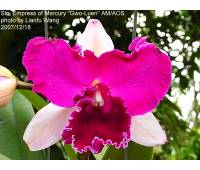 "Sophrolaeliocattleya Empress of Mercury ""Gwo-Luen"" AM/AOS"