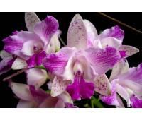 Cattleya Monte Elegant 'Sinpu'