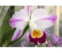 Cattleya eldorado (fantasia x aquinii)
