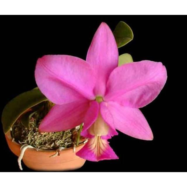 Cattleya nobilior (rubra x coerulea)