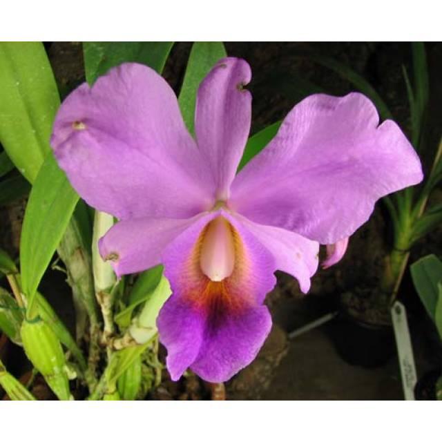 Cattleya percivaliana 'Jewel' x Cattleya walkeriana