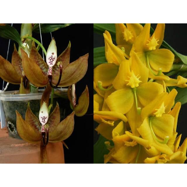 Cycnoches loddigesii x herrenhusanum