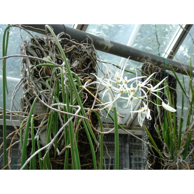 Dendrobium teretifolium
