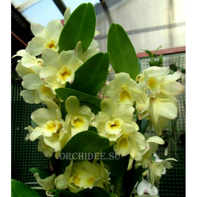Dendrobium Nobile Yellow Song 'Canary'