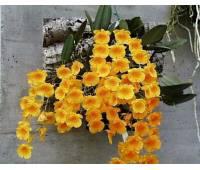 Dendrobium lindleyi x sib