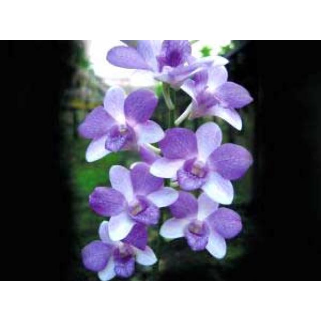 Dendrobium Jairak Blue Star