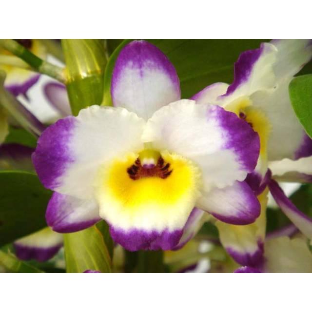Dendrobium Lucky x Lovely Virgin 'Angel'