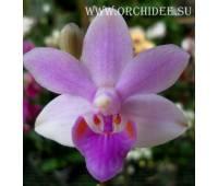 Phalaenopsis Princess Kaiulani flava x Doritis pulcherrima