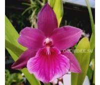 Miltonia Honolulu 'Warne's Best' HCC/AOS CCM/AOS (Gayety x Anne Warne)