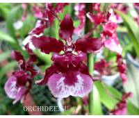 Oncidium Heaven Scent 'Sweet Cherry' (Ruffles x Sharry Baby)