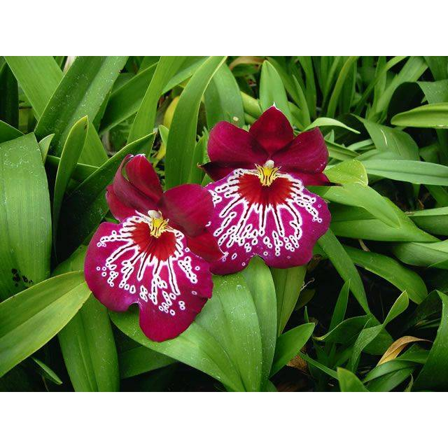 Miltoniopsis Firewater 'Red Butterfly'