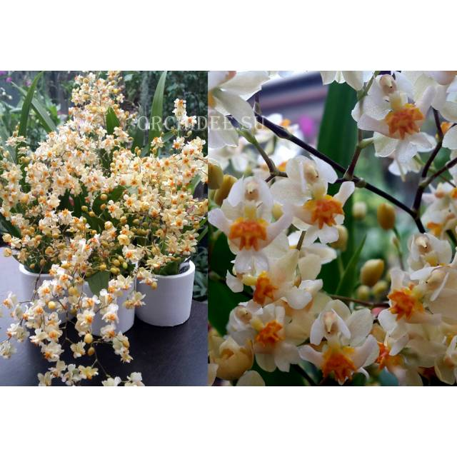 Oncidium Tiny Twinkle 'White Fragrance'