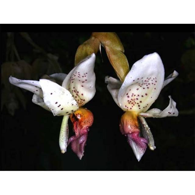 Stanhopea horichiana