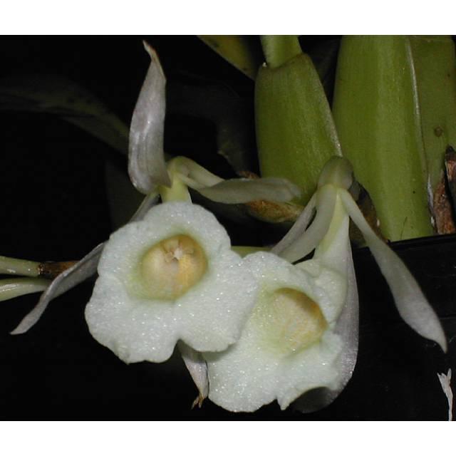 Trichopilia turialbae