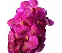 Vanda Sumathi Magic Fuchsia