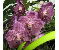 Vanda Fuchs Delight 'Blue Black'