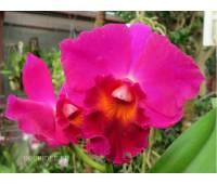 Cattleya hybrid 012