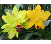 Cattleya hybrid 030