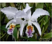 Cattleya mossiae var. coerulea