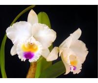 Cattleya quadricolor semi alba