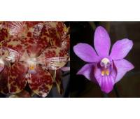 Phalaenopsis gigantea x Doritis pulcherrima