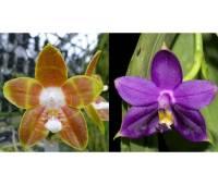 Phalaenopsis venosa x violacea var indigo