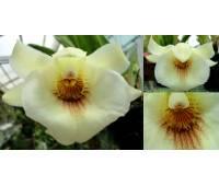 Pescoranthes = Pescatorea lamellosa x Cochleanthes amazonica