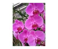 Phalaenopsis PH 014