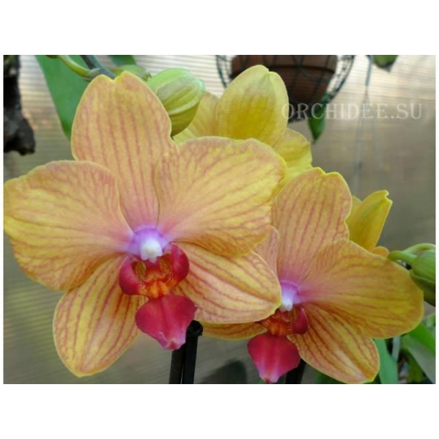 Phalaenopsis PH 241 My Monro Bronzer