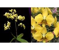 Phalaenopsis stuartiana var.nobilis