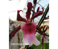 Aliceara Renaissance Grandeur Fragrance