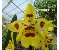 Odontocidium Irish Mist