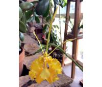 Psychopsis papilio (yellow form) x self
