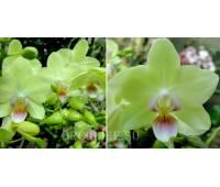 Phalaenopsis PHM 126