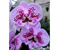 Phalaenopsis PH 249 Big Lip