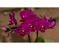Phalaenopsis PHM 131 Sogo Yenlin 'Coffee'